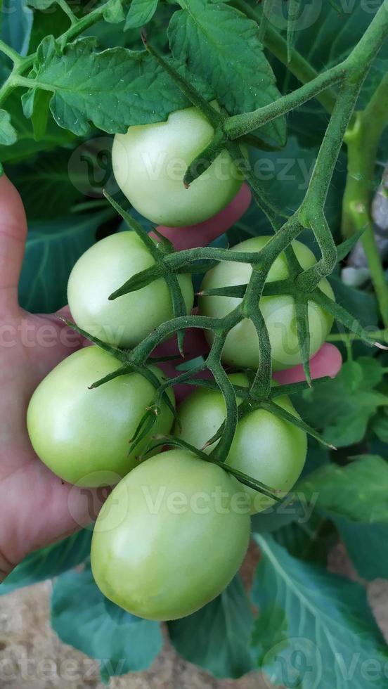 un manojo de tomates de invernadero en la palma de tu mano. foto