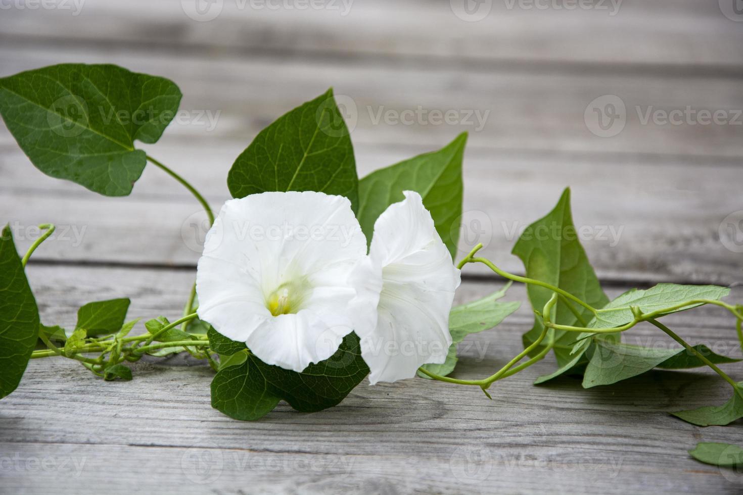 flor de enredadera con capullos blancos sobre un fondo de madera. foto