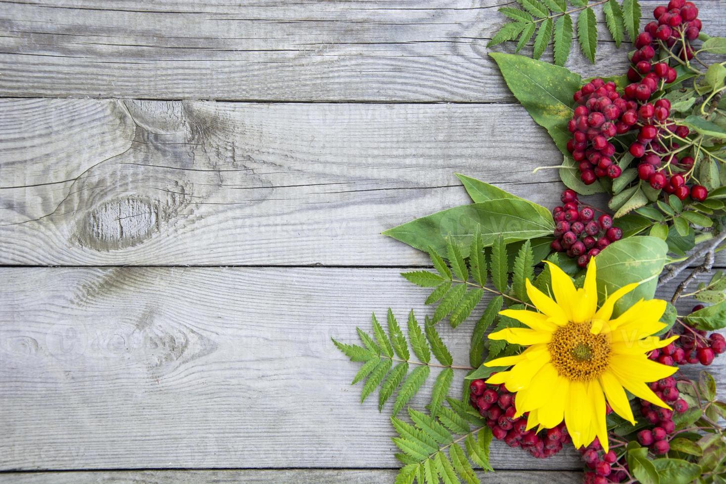 fondo natural. Bayas de serbal y flor de girasol sobre un fondo foto