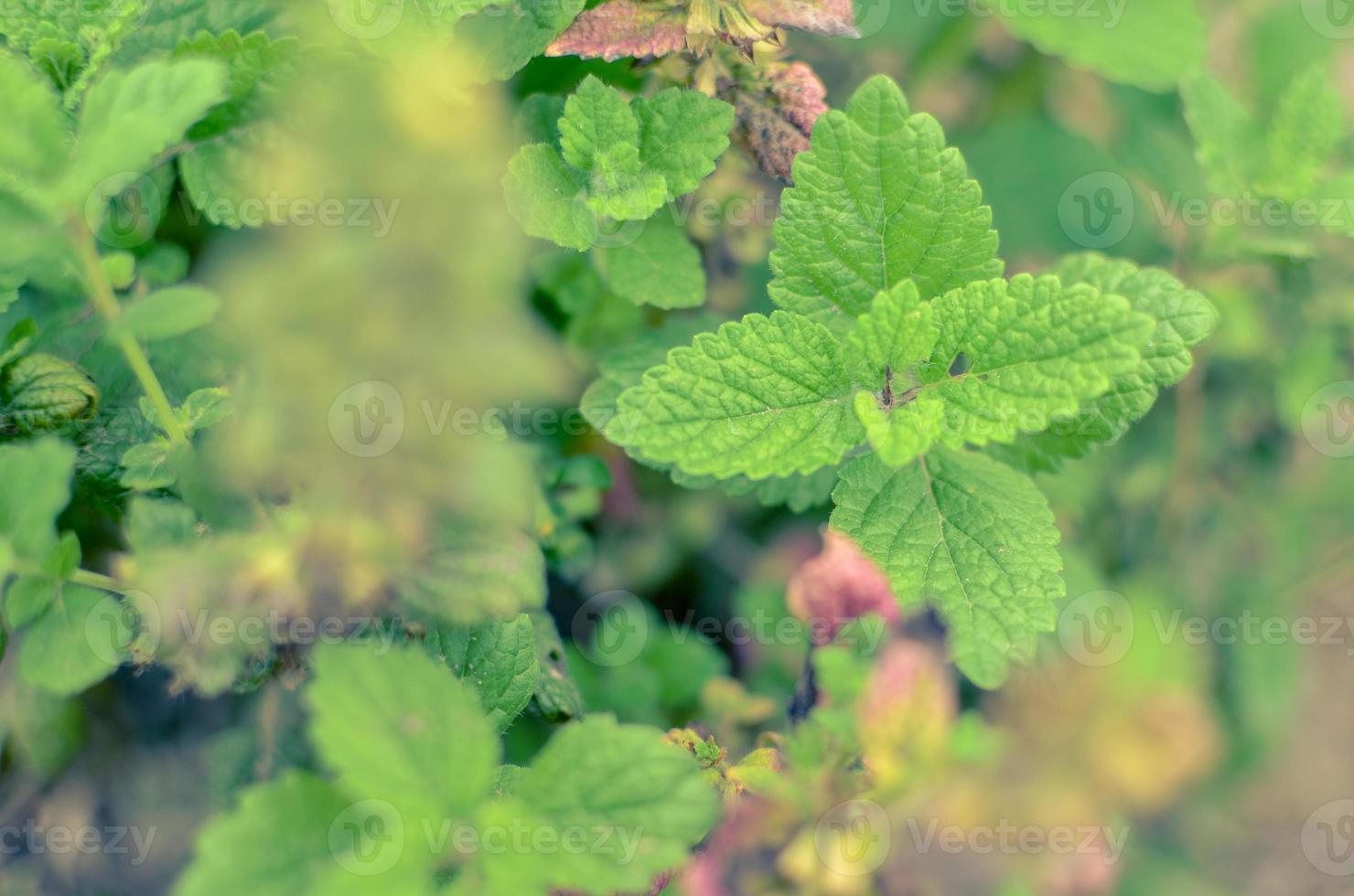 Primer plano de una planta de menta fresca vívidamente verde foto