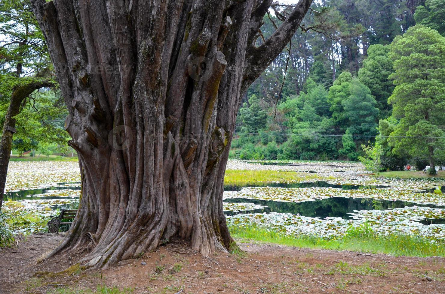 Árbol enorme con corteza desgastada cerca del lago en Valdivia, Chile foto