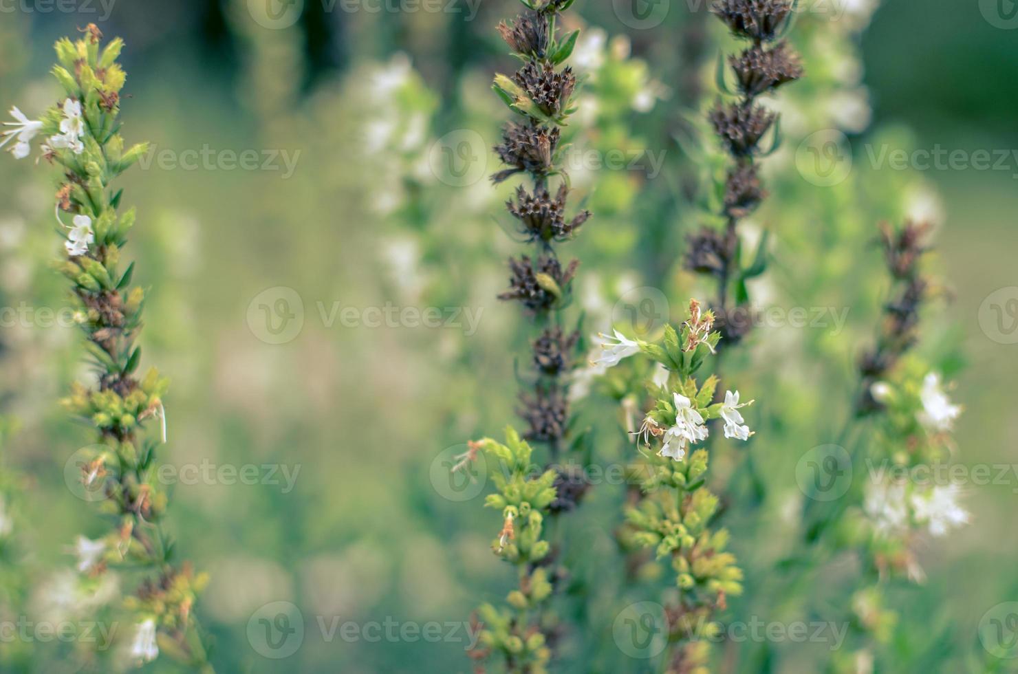 Thymus serpyllum florece en el jardín, primer plano foto