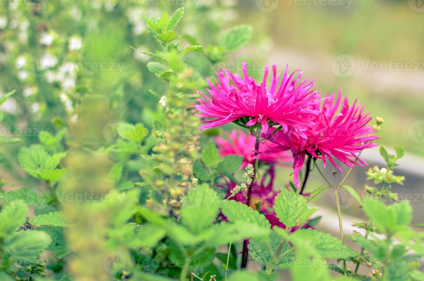 Cerrar flor rosa en el jardín en Ucrania foto