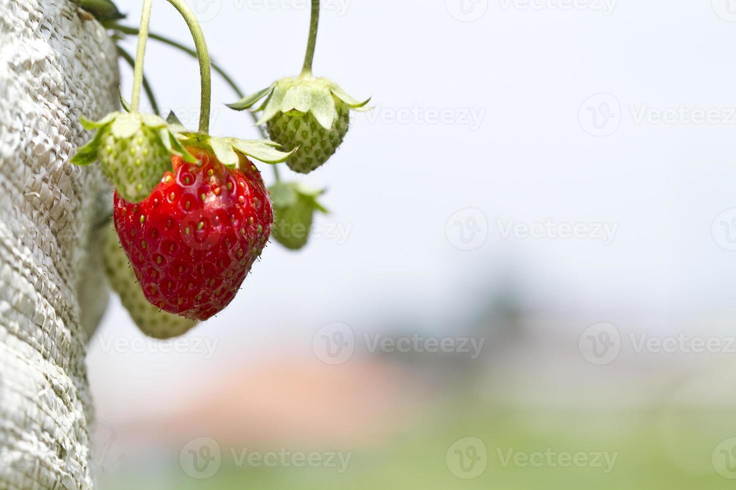 fresas en la granja foto