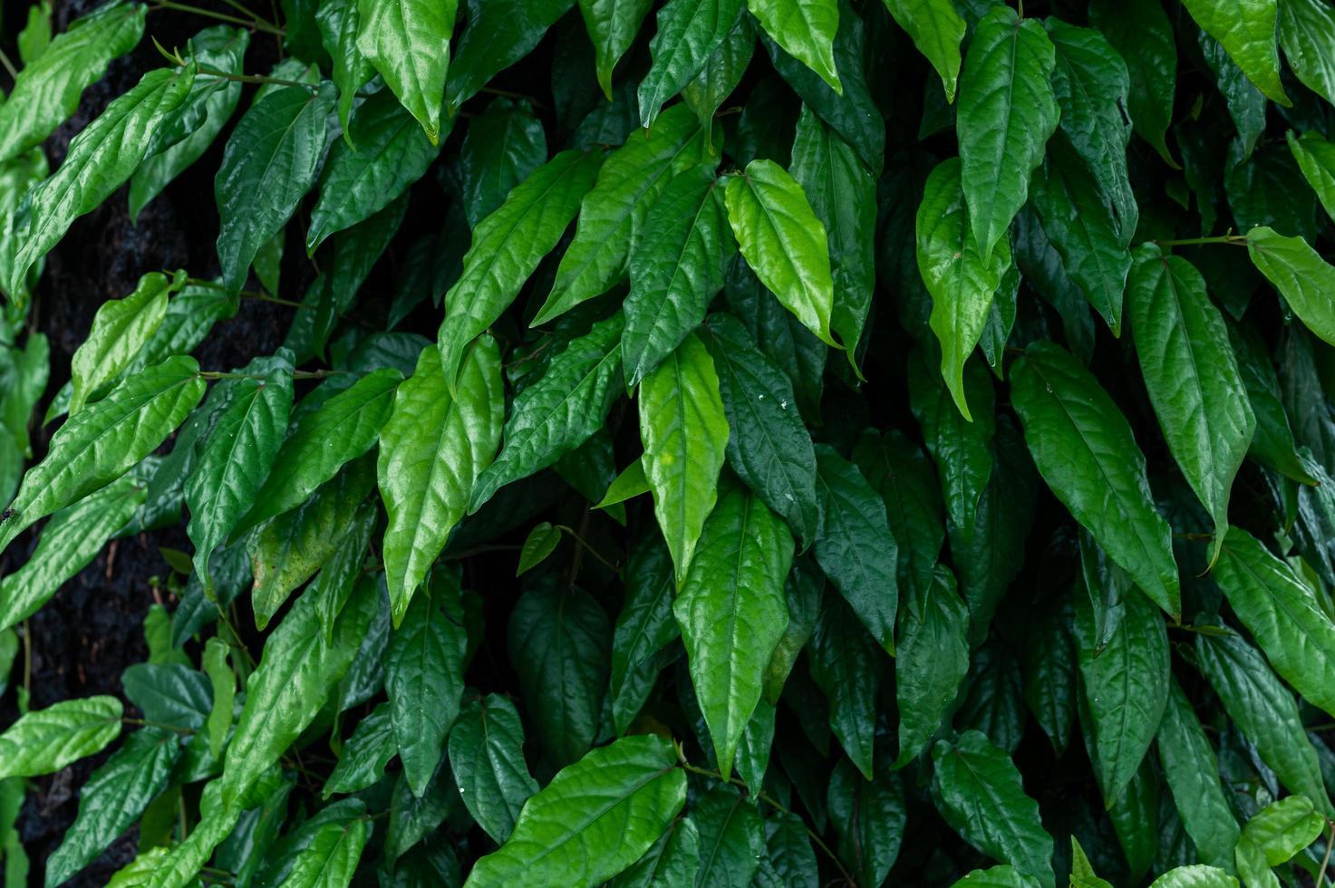 fondo de hoja verde hiedra foto