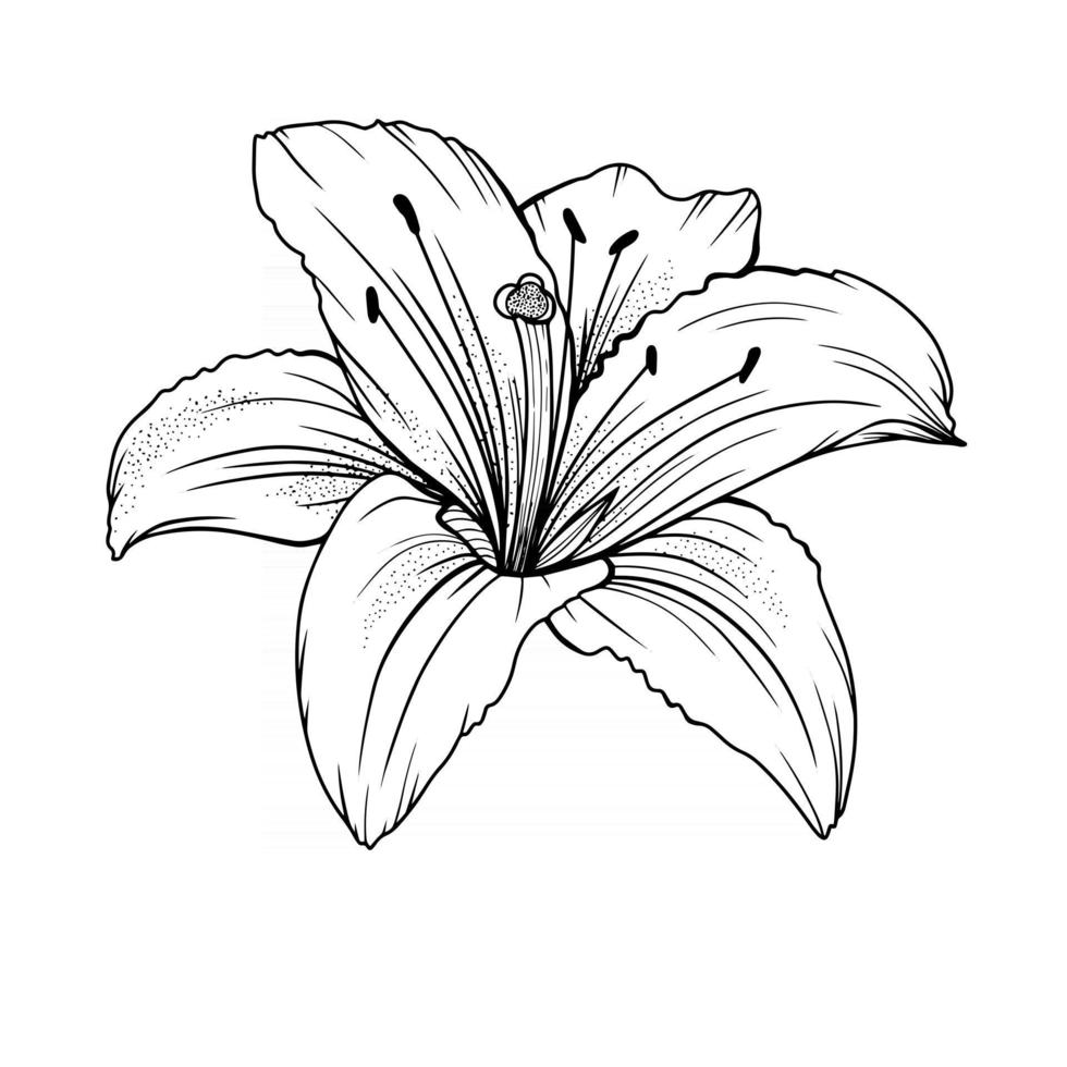 Lily Flower Outline Lilies LIne Art Line Drawing vector