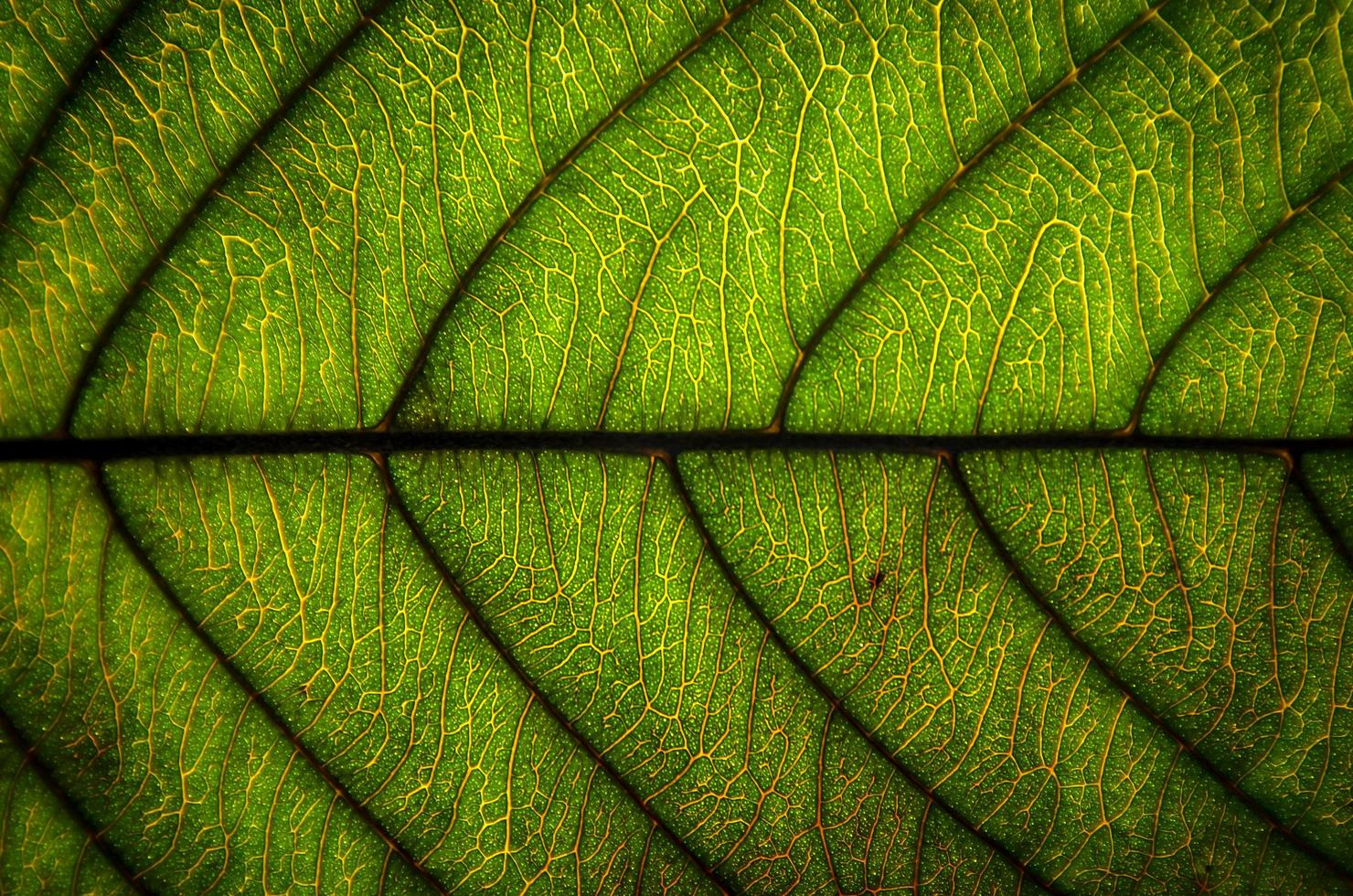 Green leaves texture and leaf fiber, Wallpaper by detail of green leaf photo
