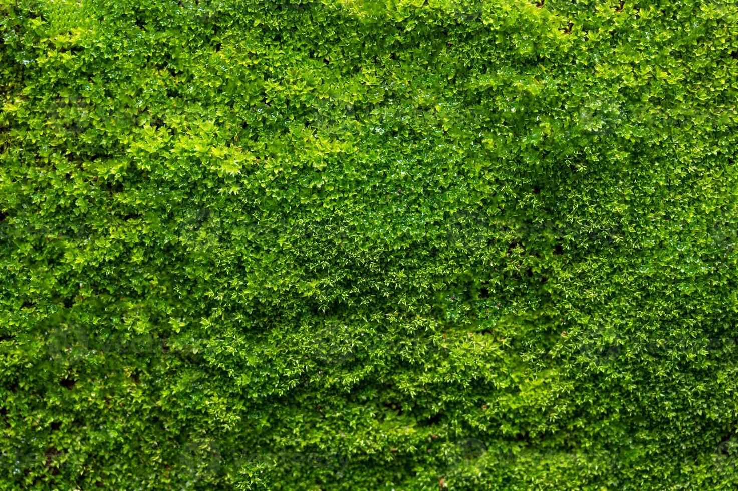 Green Moss background, mossy texture photo