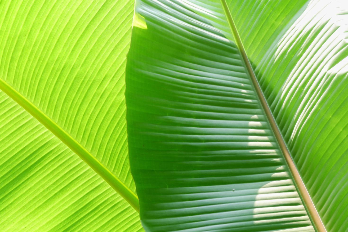 Banana leaf texture photo