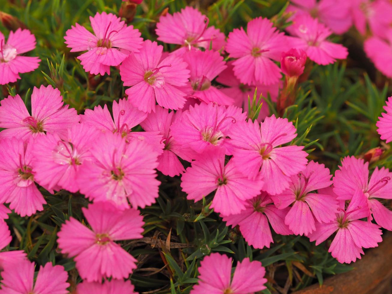 Bonitas y pequeñas flores rosadas de dianthus inshriak deslumbrante foto