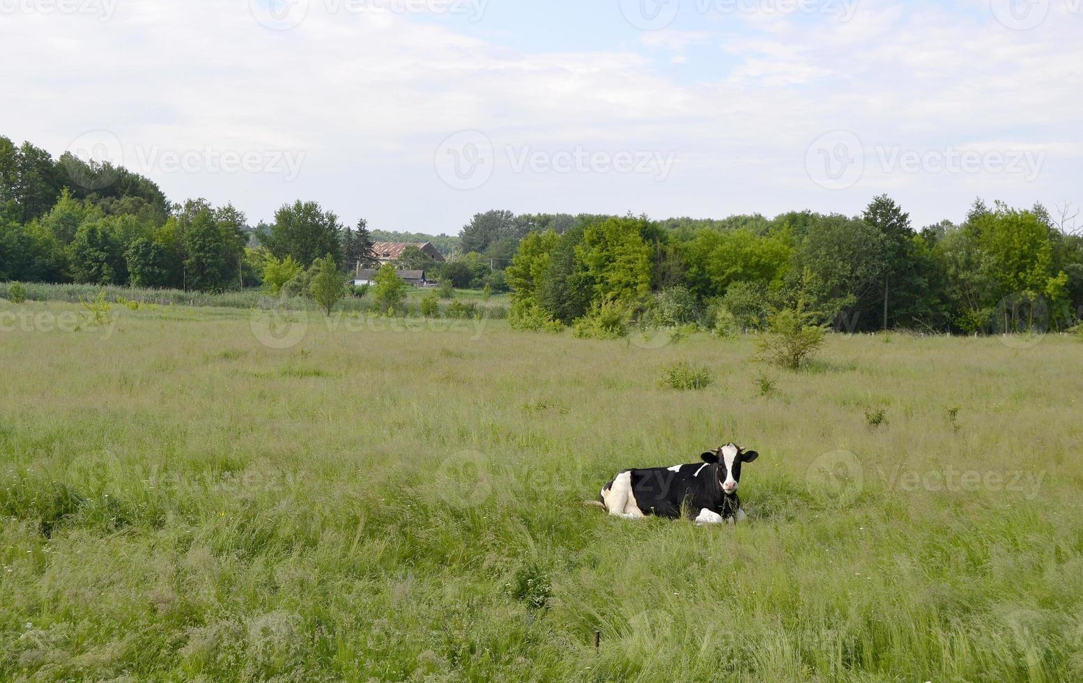 Cow on green meadow photo