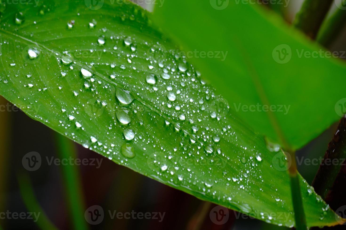 hojas verdes mojadas con gotas de agua y rocío revoloteando bajo la lluvia. foto