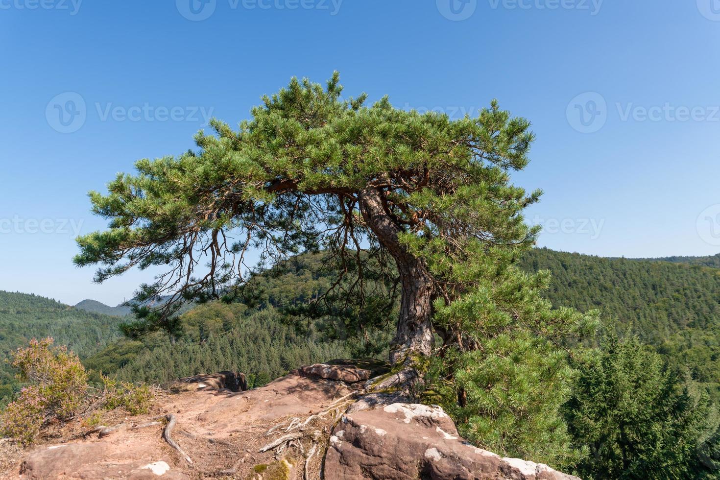Solo pino lisiado se encuentra en la cima de una montaña sobre rocas foto