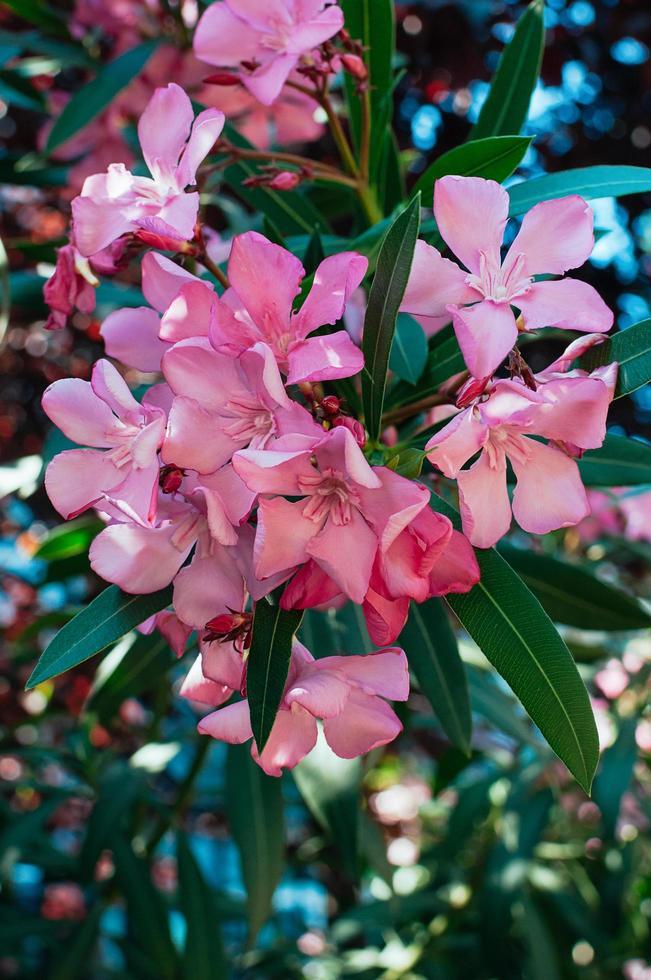 flores rosadas de adelfa de cerca foto