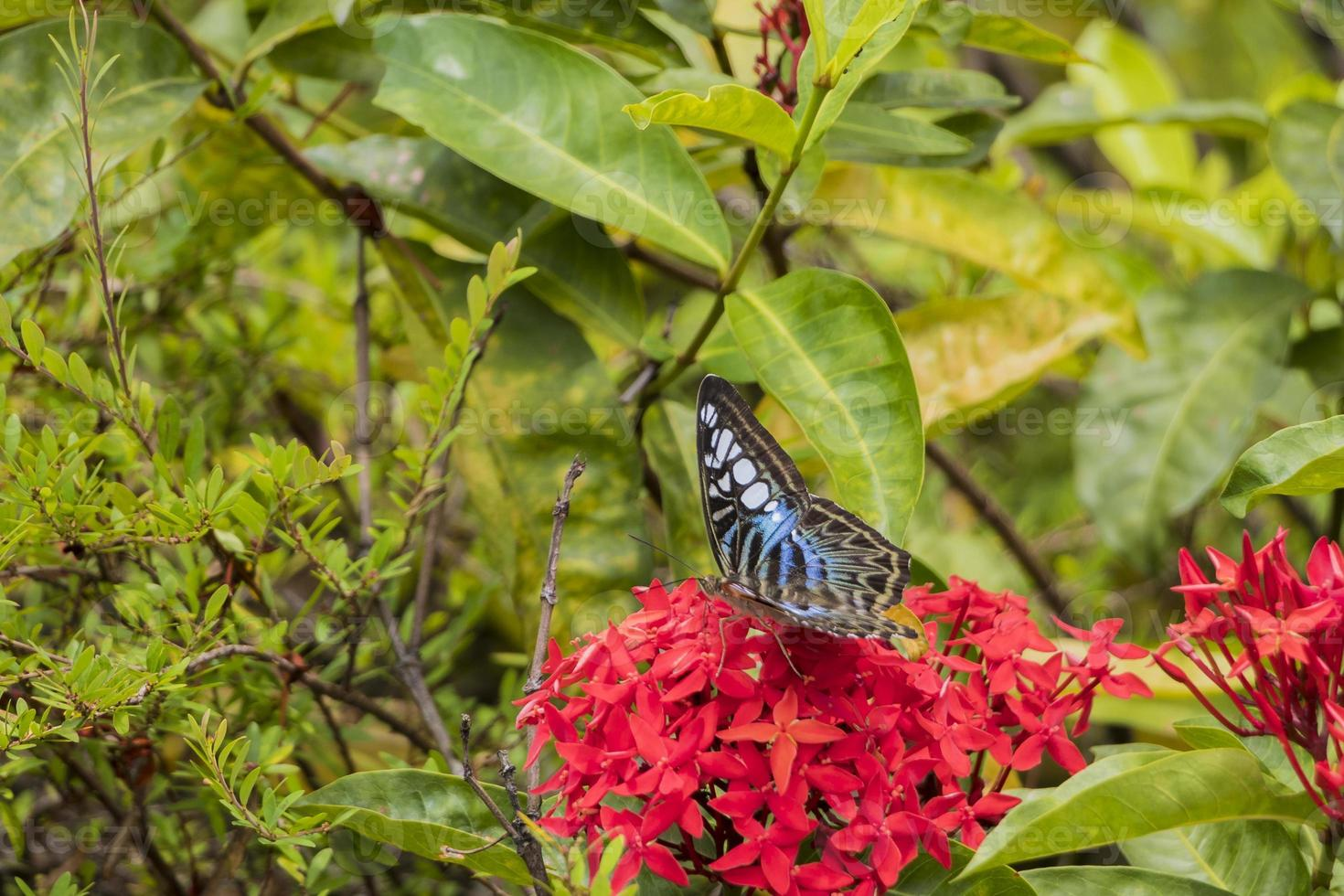Big Blue sail butterfly, Parthenos sylvia on red flower photo