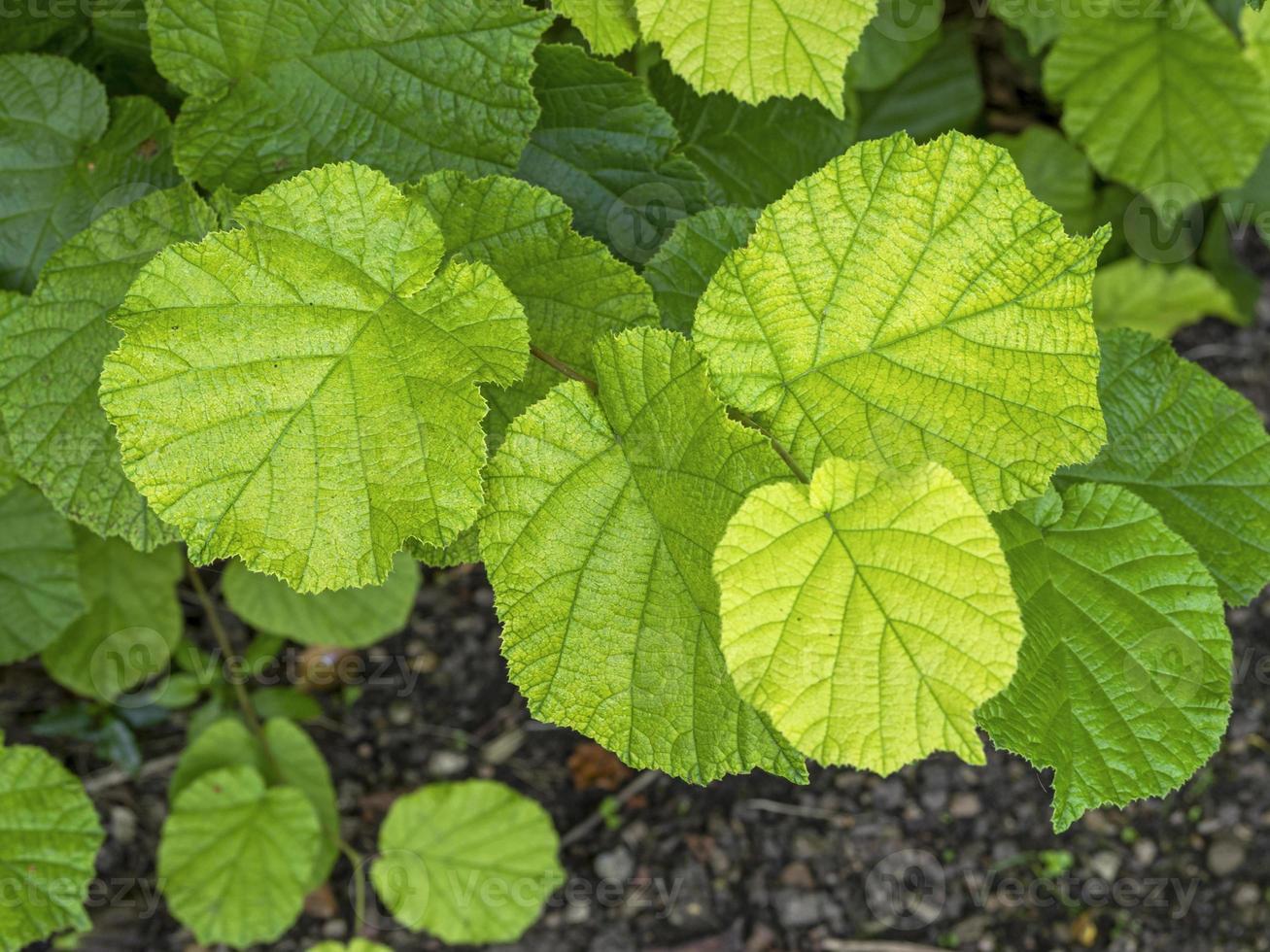 hojas de avellano común con hermosos colores y texturas foto