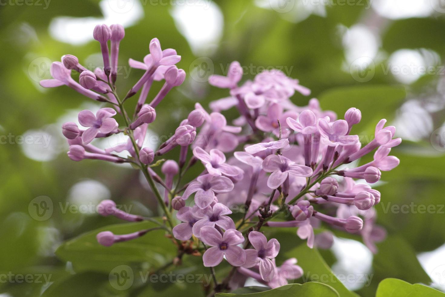 lilas florecientes en mi jardín foto