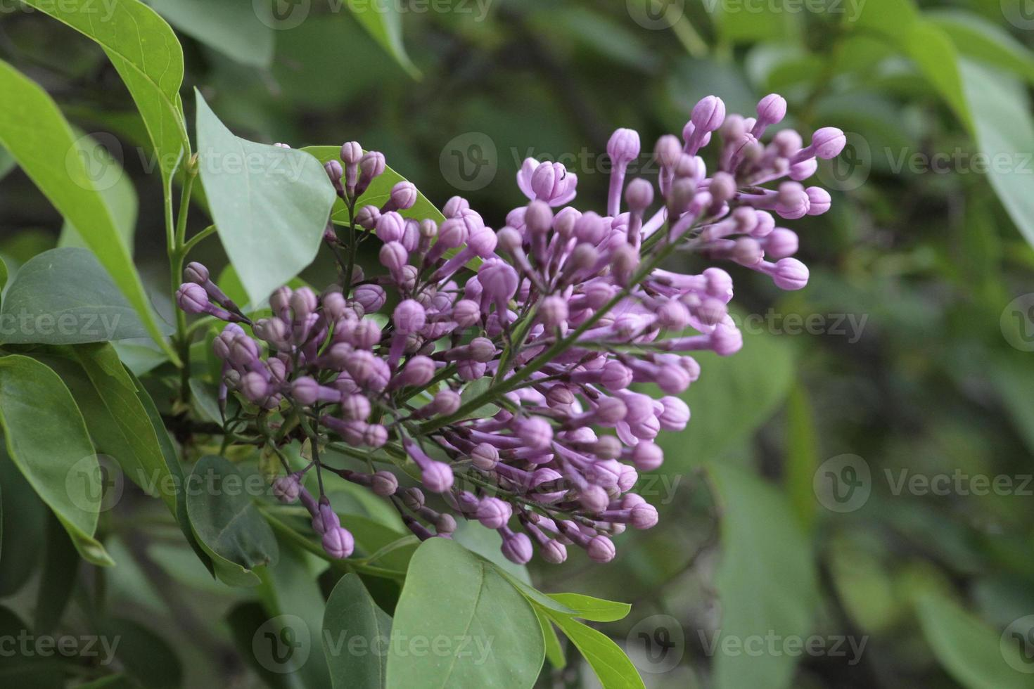Blooming lilacs in my garden photo