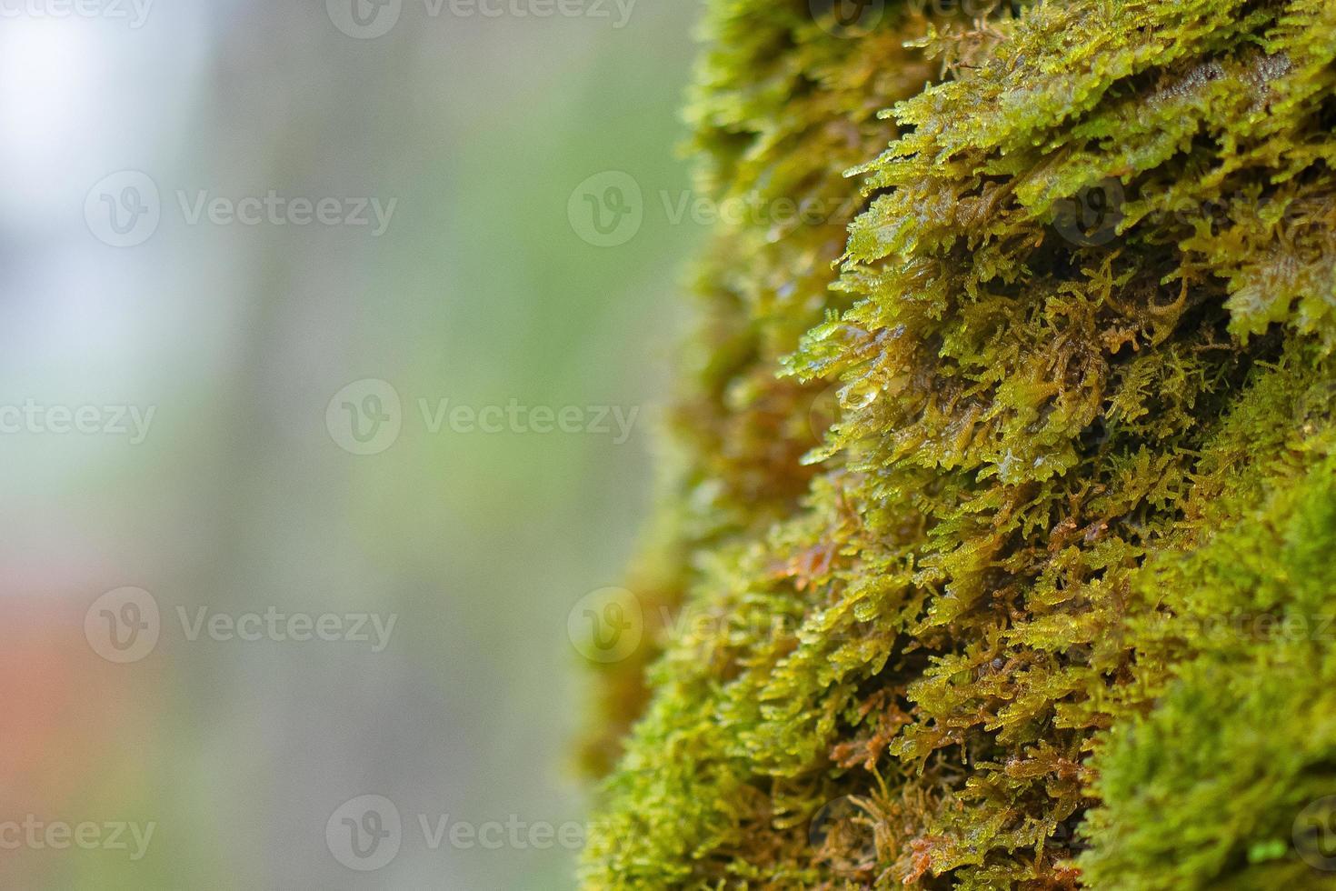 Detalle de musgo húmedo con fondo borroso foto