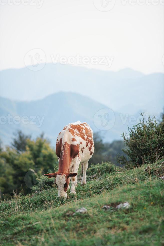 Vaca pastando en los Alpes italianos foto