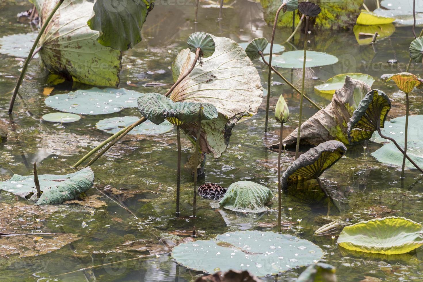 Dry tropical pond lake with aquatic plants, Perdana Botanical Garden. photo