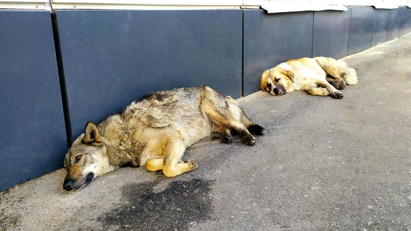 Dogs on the street. Two stray dogs lie on the asphalt near photo