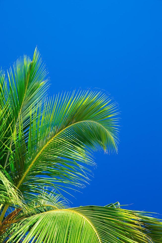 palmeras contra el cielo azul foto