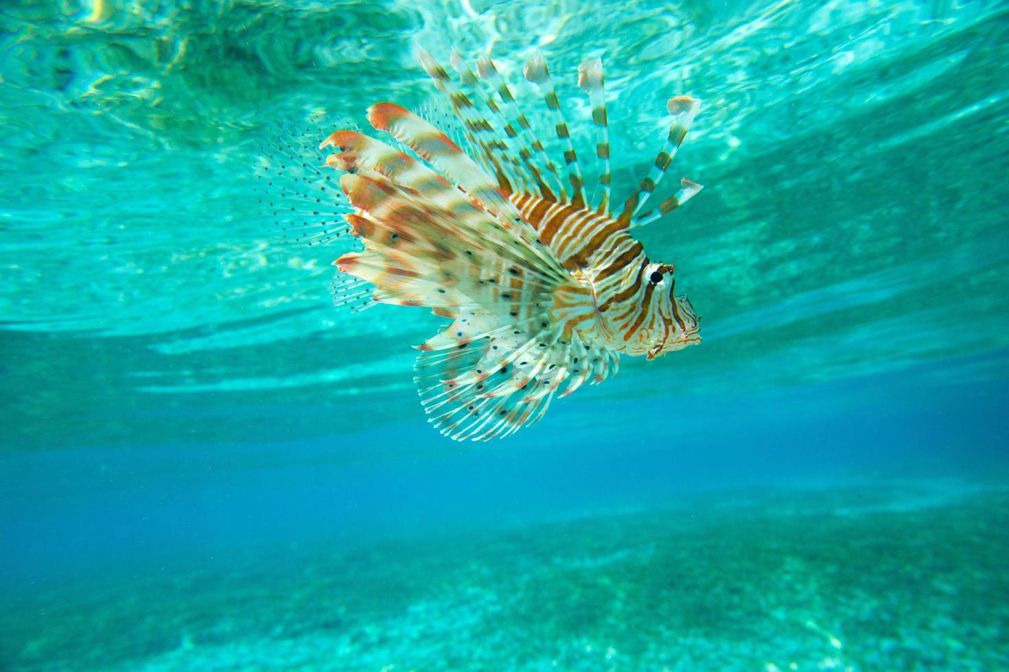 pez león nadando bajo el agua foto