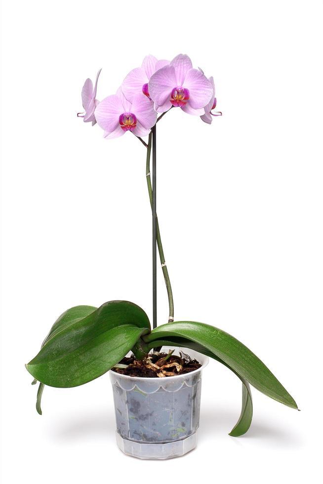 orquídea rosa sobre fondo blanco foto