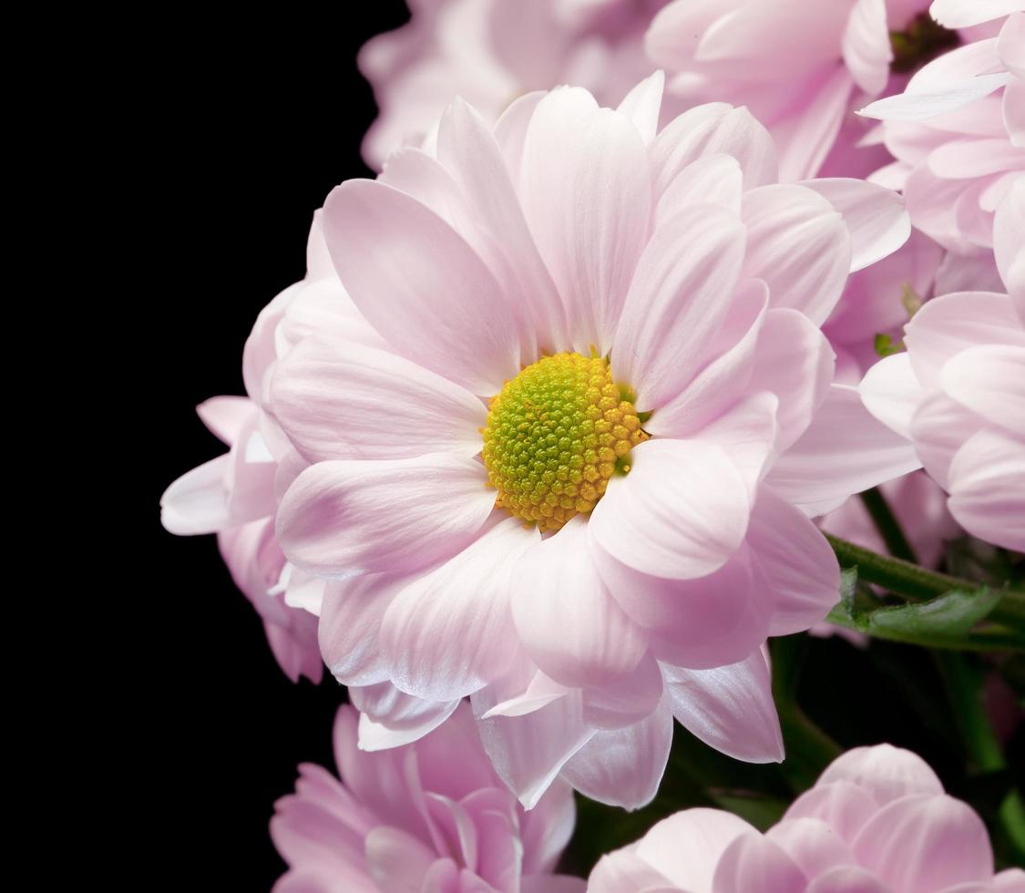 ramo de crisantemos rosados foto