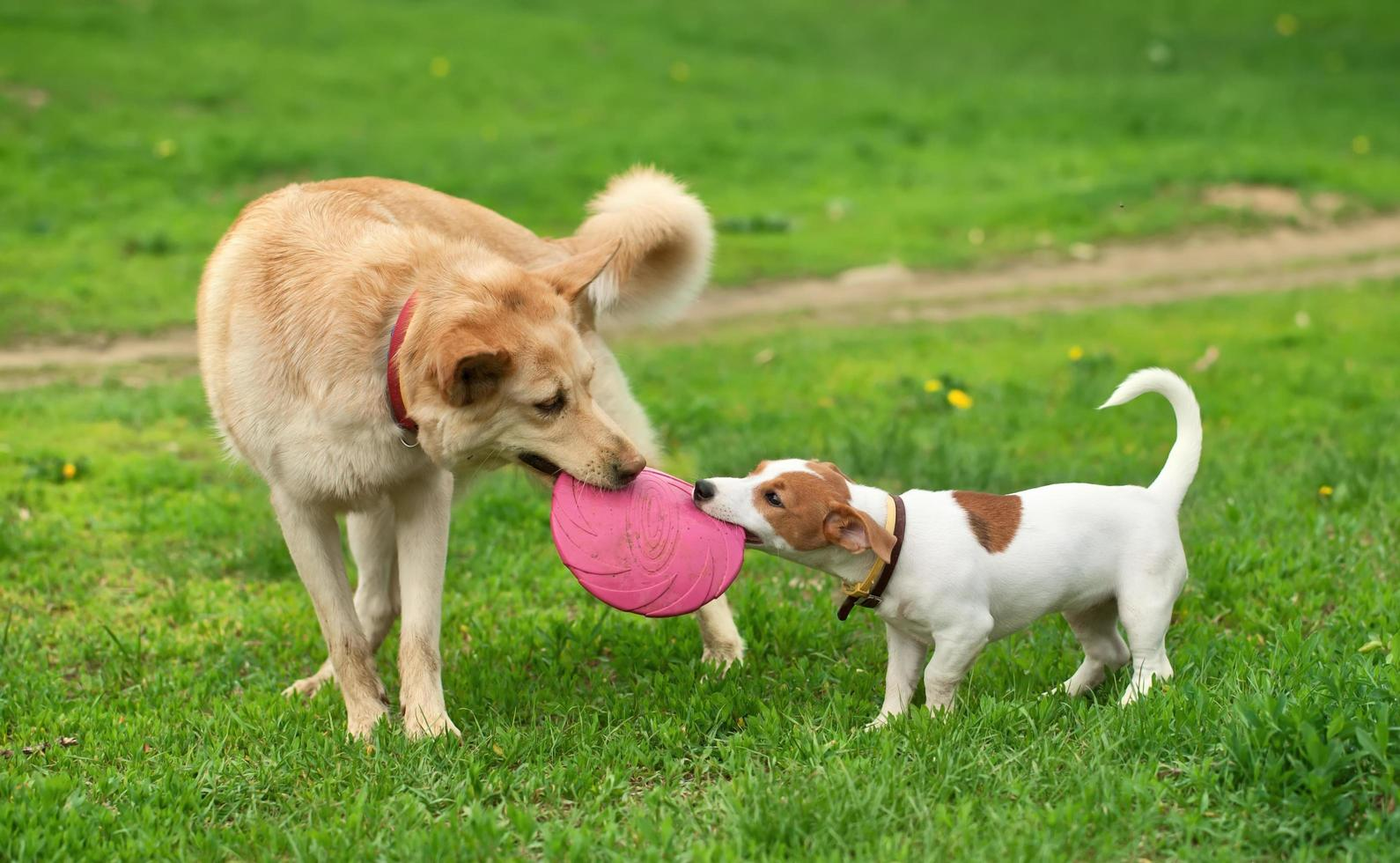 perros llevan frisbee rosa foto