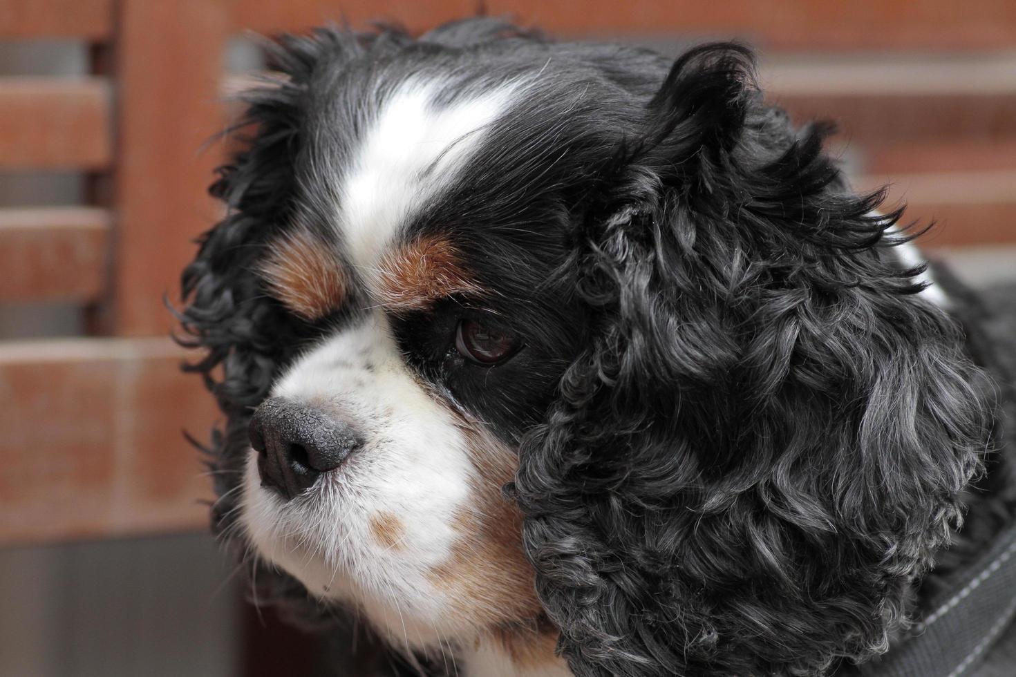 rey charles tipo perro de casa domesticado de orejas largas foto