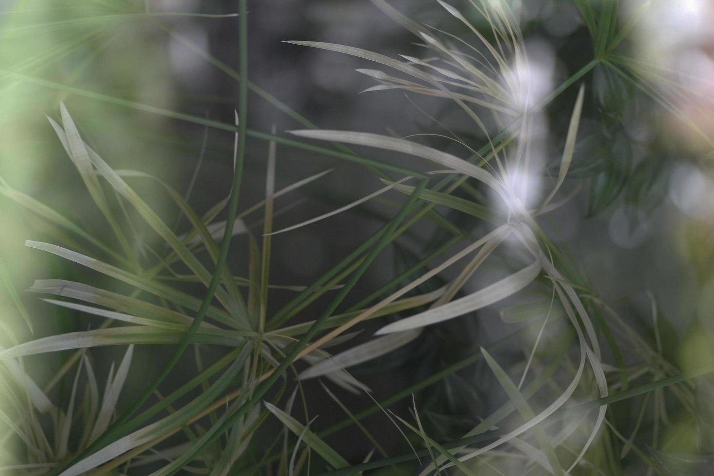 hoja de planta de árbol de papiro verde. foto