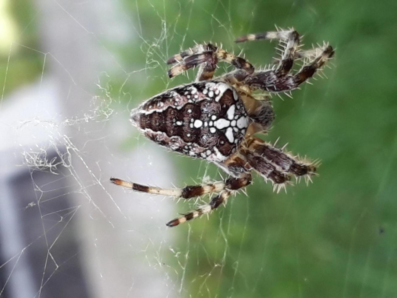 una araña esperando a su presa en su telaraña foto
