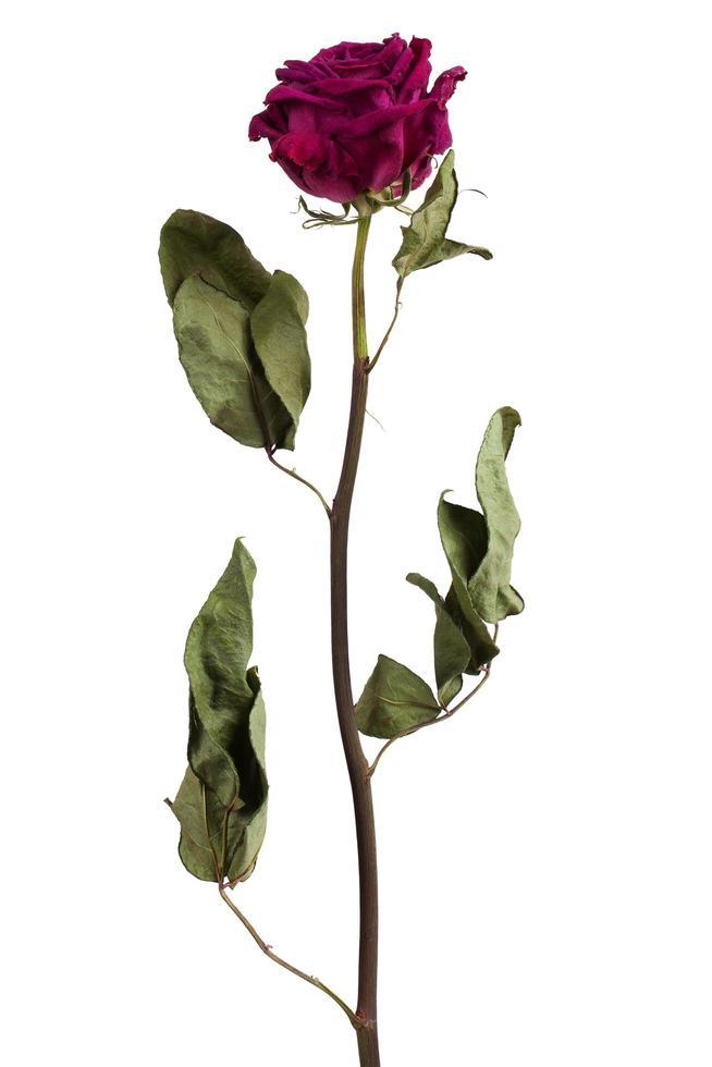 rosa burdeos seca foto