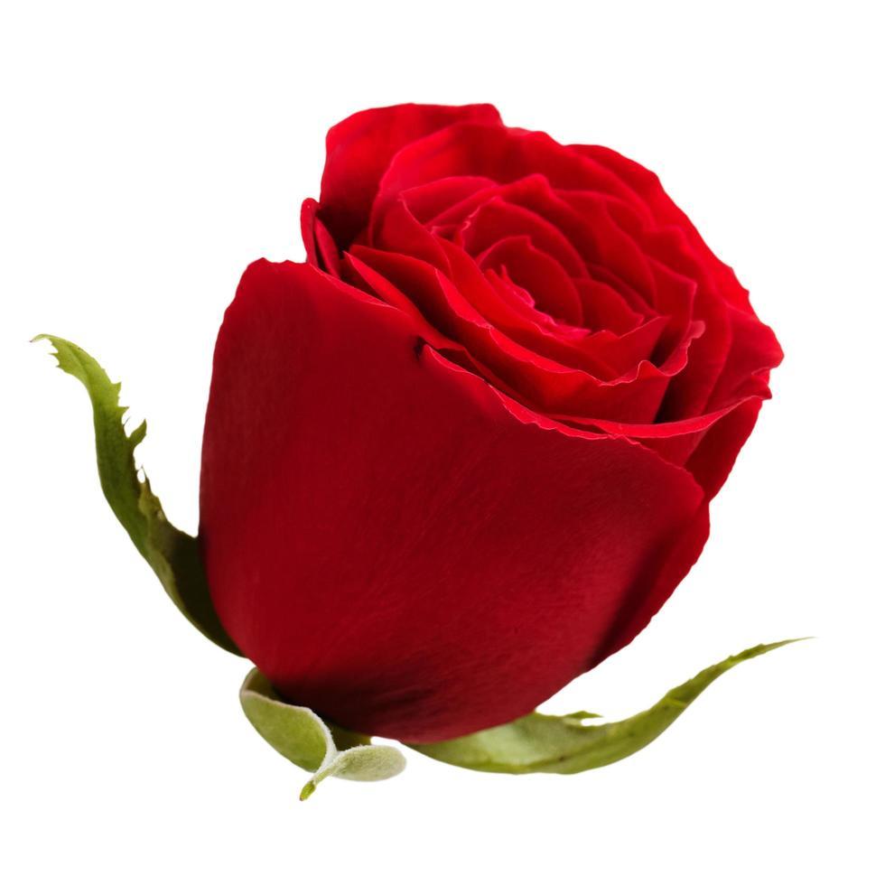 capullo de rosas rojas sobre un fondo blanco foto
