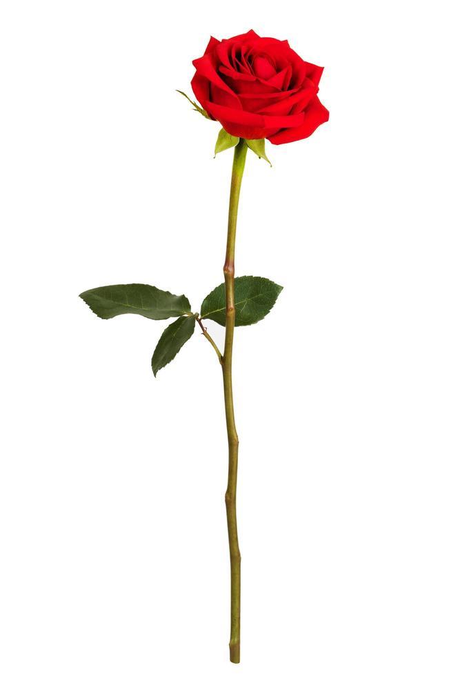 rosa roja sobre fondo blanco foto