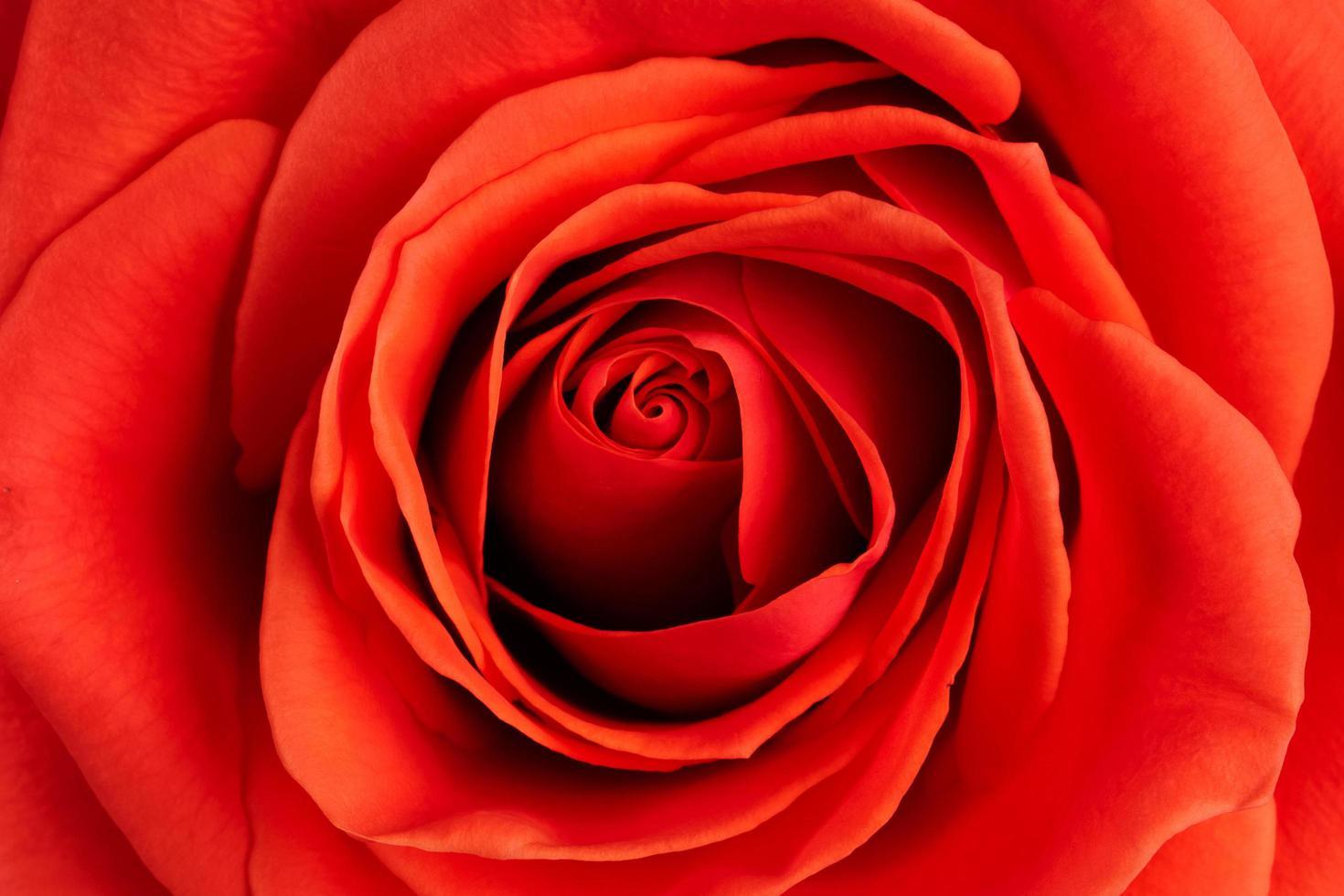 fondo de rosa escarlata fresca foto