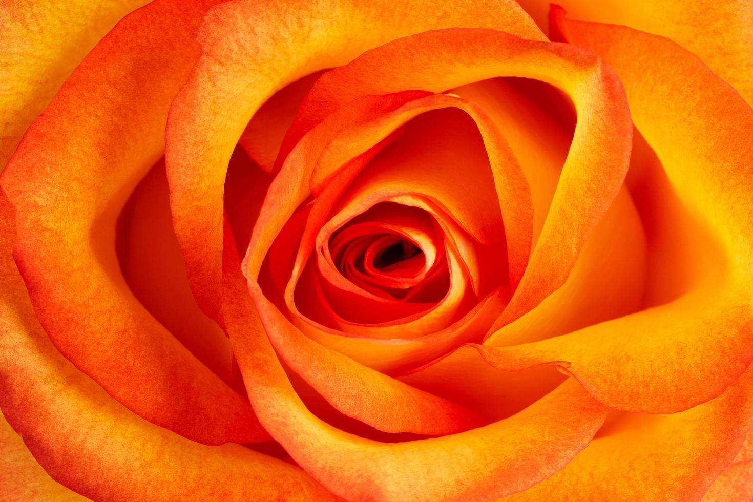 fondo de rosa naranja fresca foto