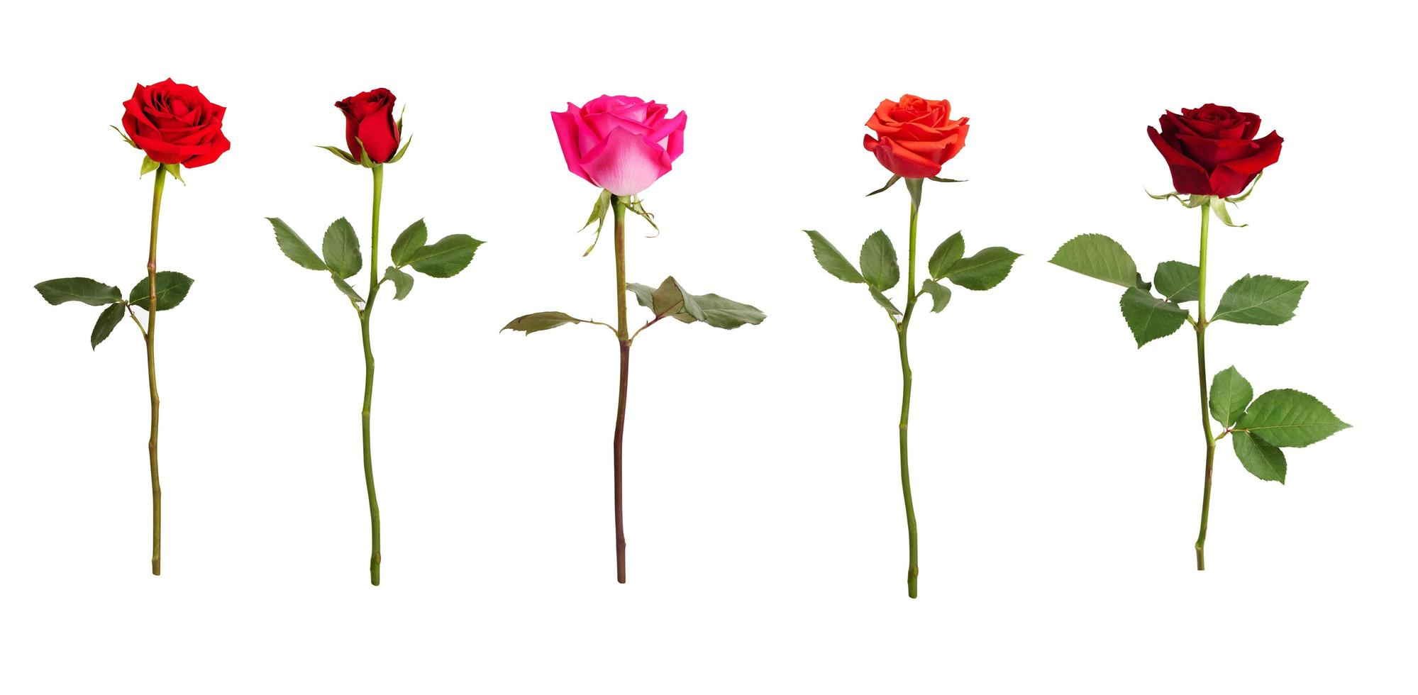 cinco rosas de diferentes colores foto