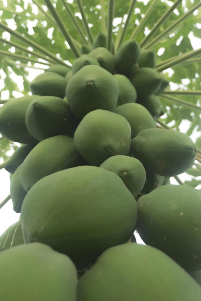 exuberante fruta de papaya verde en un árbol foto