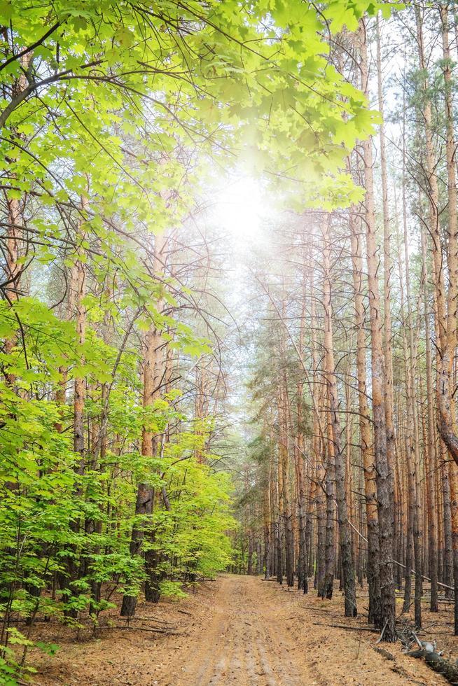 Camino por el bosque entre pinos y arces. foto