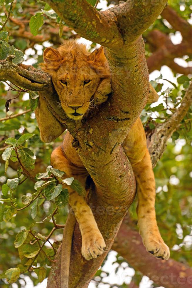 León macho joven descansando en un árbol foto