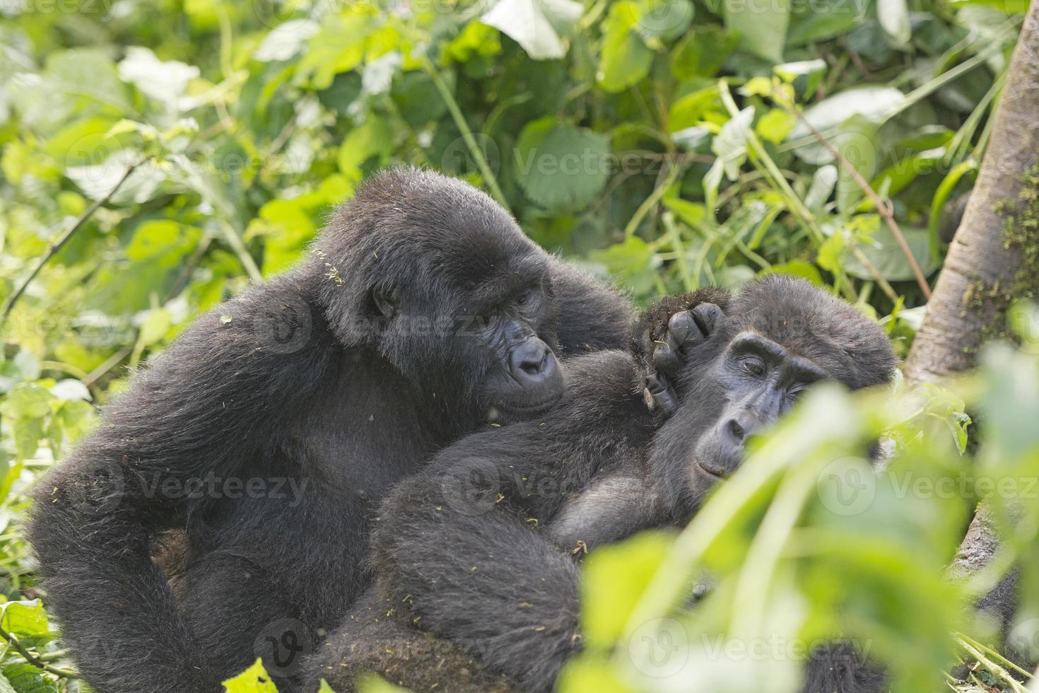 gorila de montaña acicalando a otro gorila foto