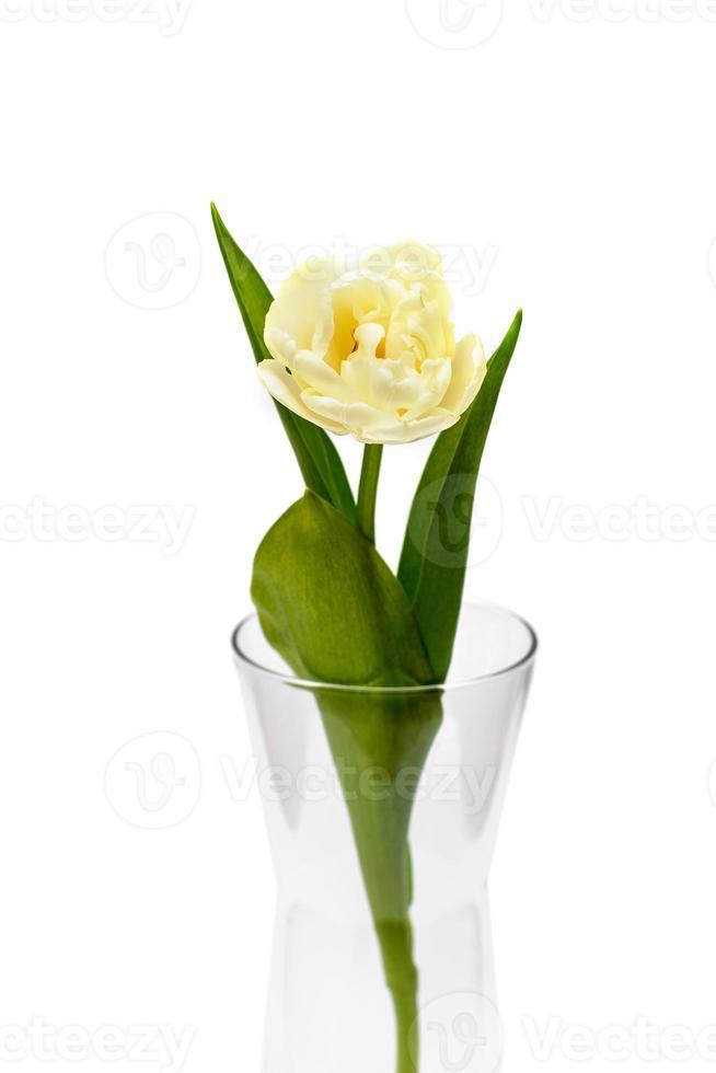 tres tulipanes amarillos en un frasco de vidrio. tulipanes de flores de primavera sobre fondo blanco foto