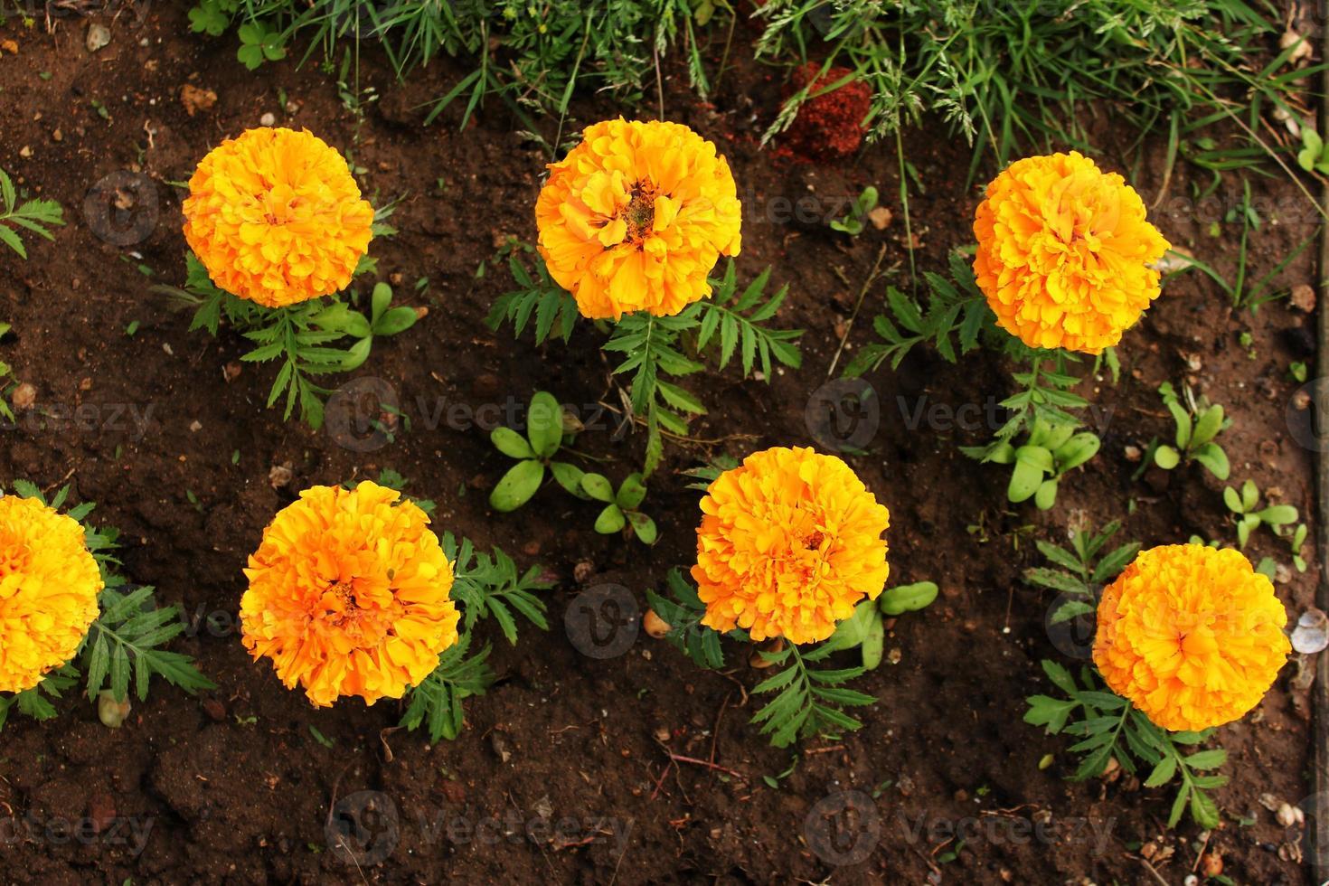 tagetes erecta caléndulas claro amarillo y naranja flores y capullos que crecen en el macizo de flores. flores naranjas en el suelo, vista superior foto
