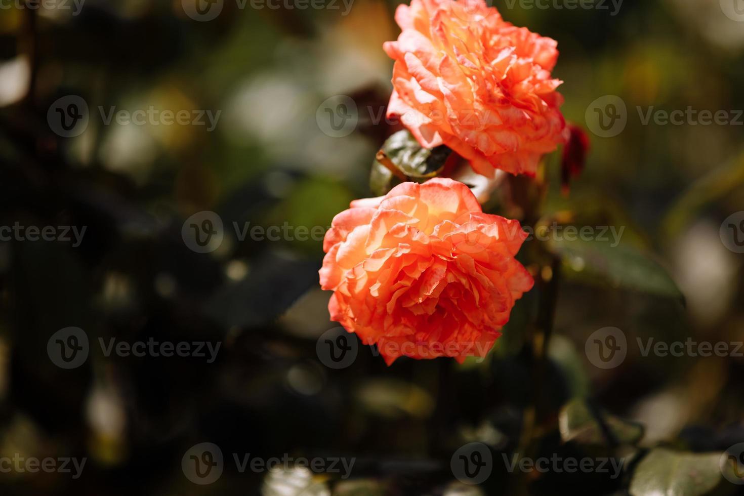 un increíble melocotón delicado se levantó de cerca en el jardín. Disparo macro de una hermosa rosa multicolor de cerca. concepto perfecto de postal. enfoque selectivo foto
