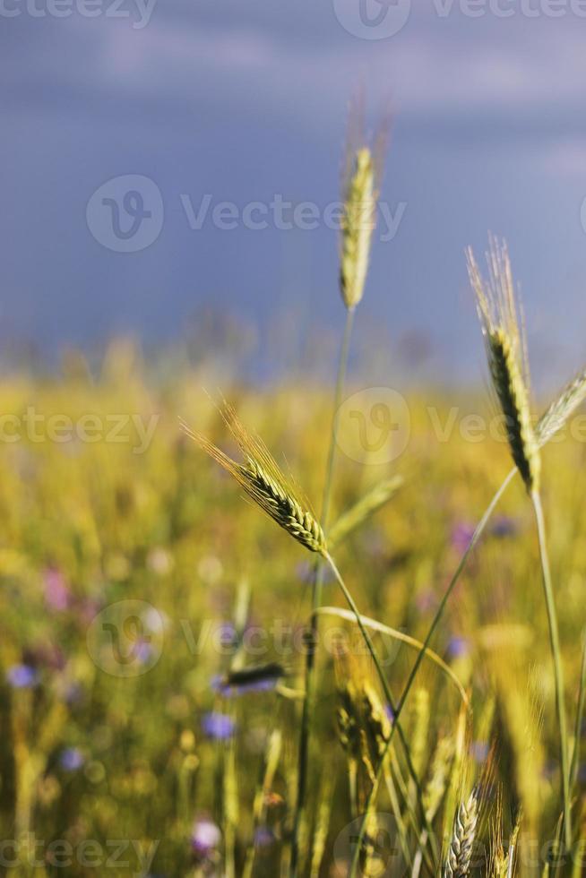 un primer plano de algunas espigas verdes en un campo de trigo que maduran antes de la cosecha en un día soleado. maduración de espigas de trigo. jugosas espigas frescas de trigo verde joven en primavera. campo de trigo verde. enfoque selectivo foto