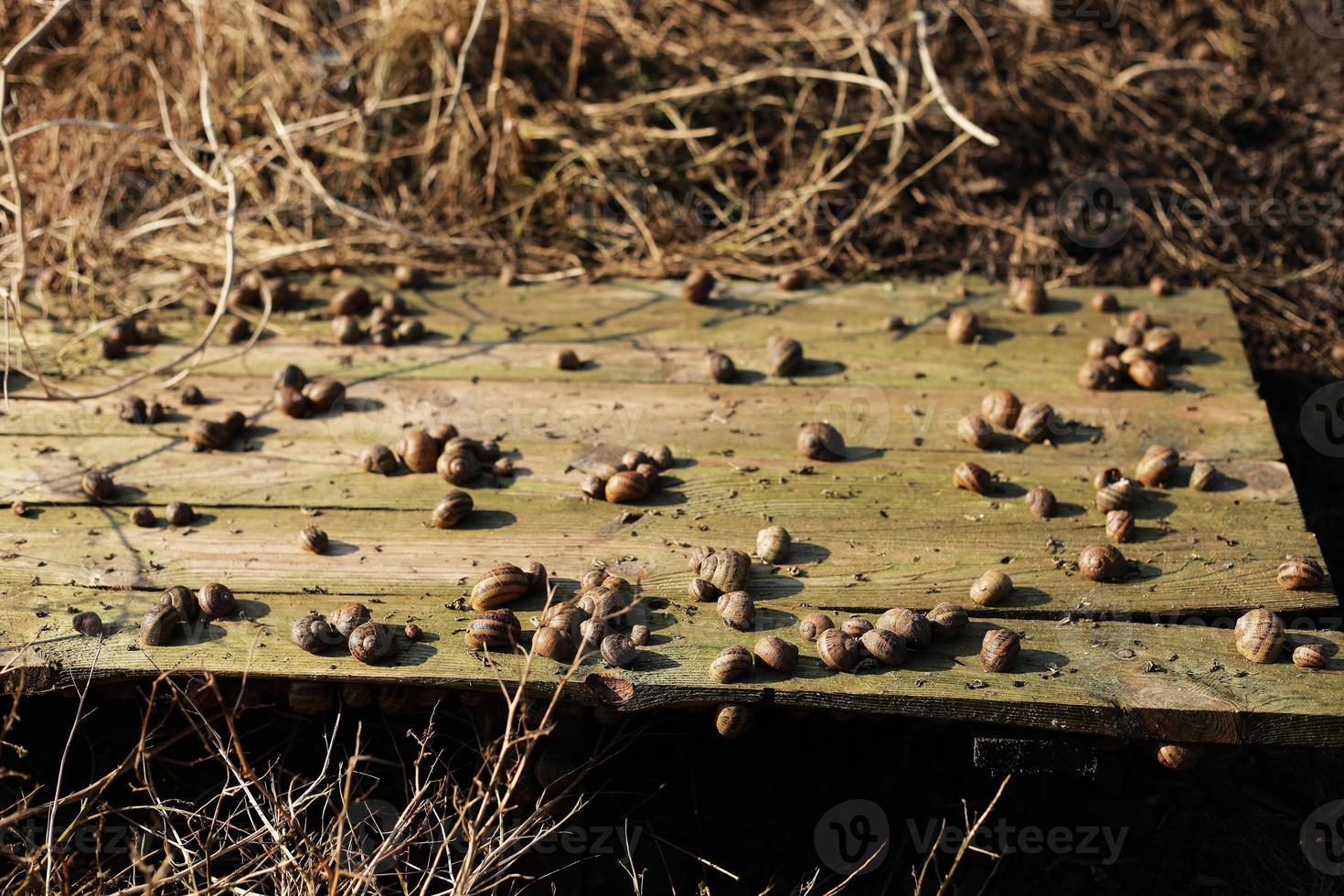 agricultura ecológica, agricultura, caracoles comestibles sobre tablas de madera. producción de caracoles. granja de caracoles. Los caracoles son moluscos con caparazón rayado marrón, en etapa de maduración. foto