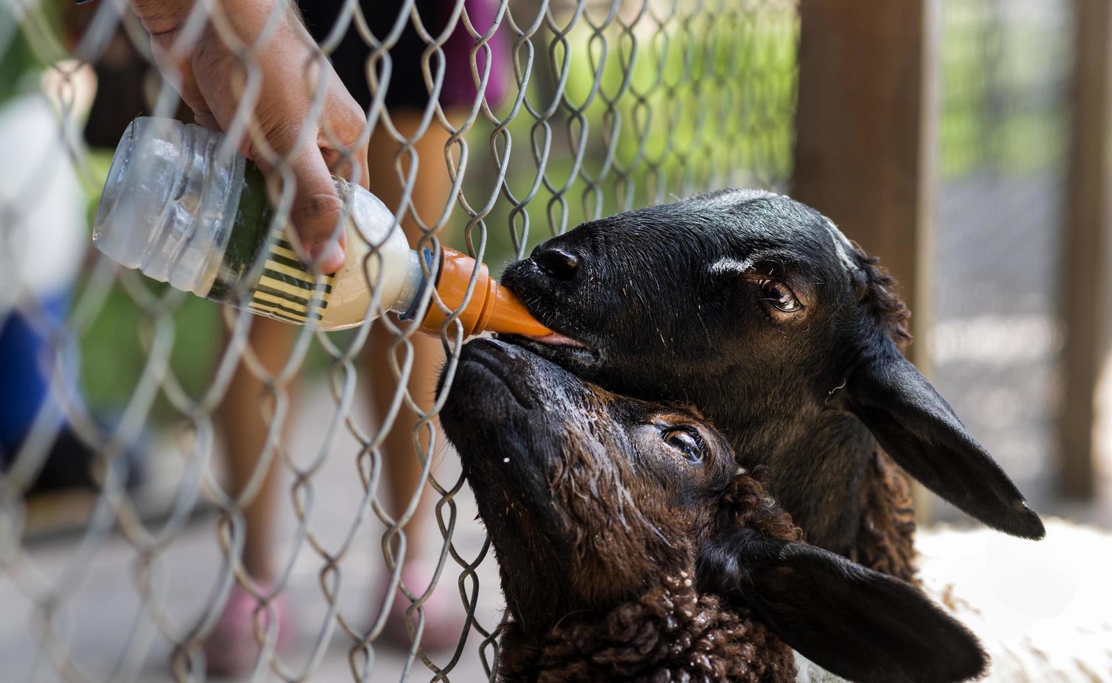 alimentando cabras negras con un biberón de leche foto